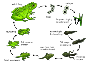 """Frog Life Cycle"" for Natural Sciences... Gr 4-6  (Resource Credit: Siyavula Education, CC-BY 2.0 http://tinyurl.com/nkjmzpj)"